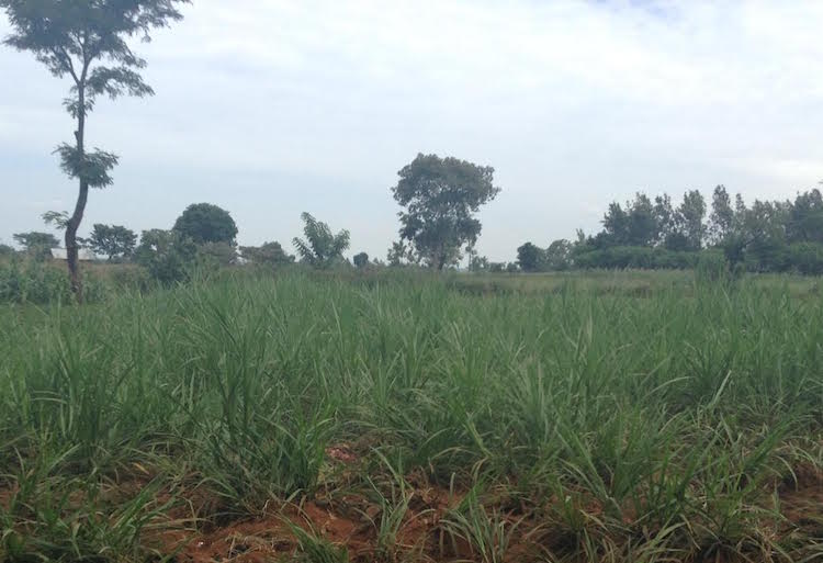 Photo: Nappier grass growing in a farm in Busia county Western, Kenya. Credit; Justus Wanzala | IDN-INPS