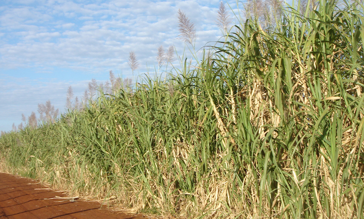 Photo: Sugar cane plantation. Credit: Wikimedia Commons.